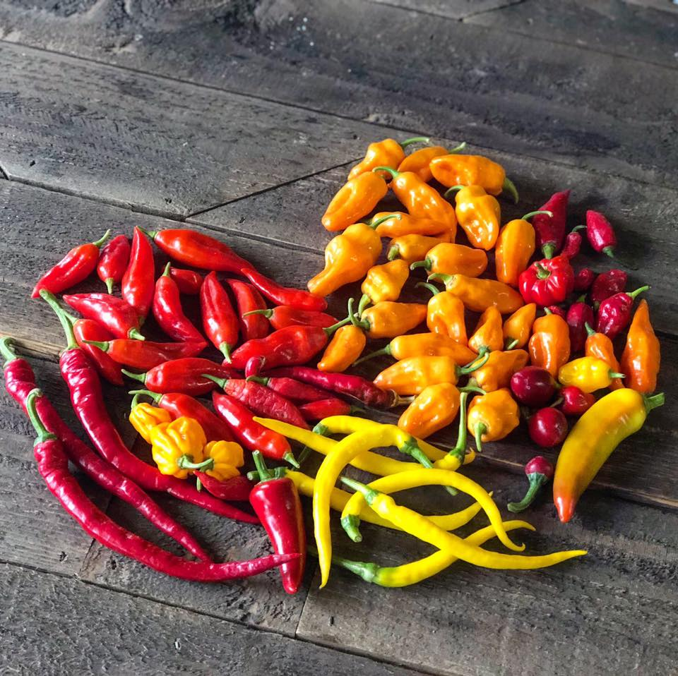 Gorgeous peppers that Jimmy of Southern Exposure Family Farm grew for us to make our Trinidad Peppersauce