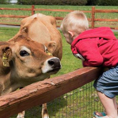 Child visiting cows at Appel Farms.
