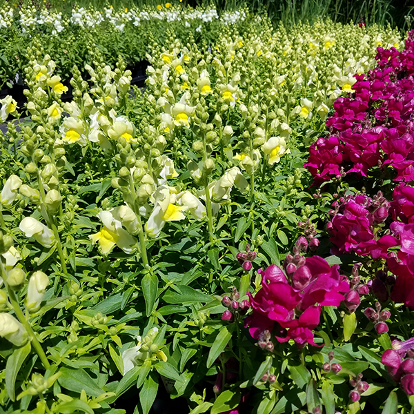 Snapdragons galore at Cascade Cuts