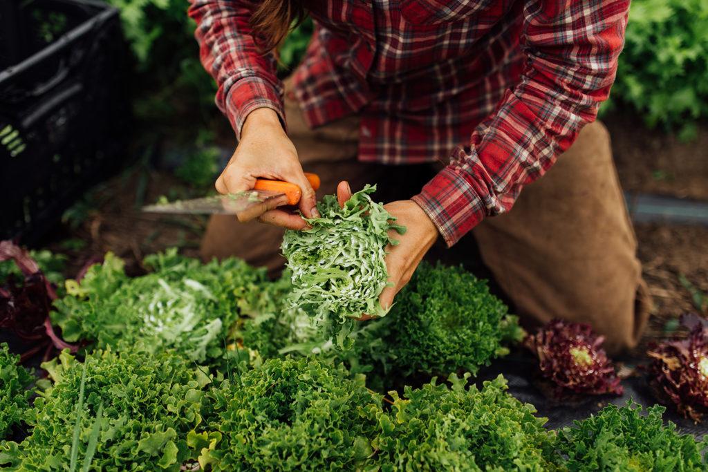 farmer kneeling on ground, harvesting greens