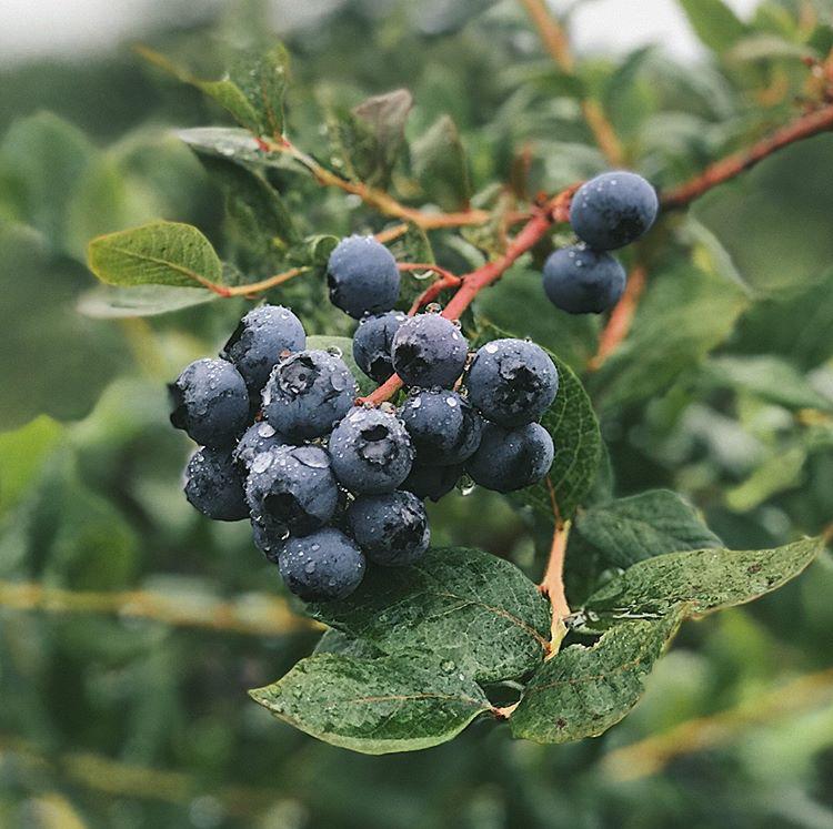 cluster of blueberries in rain