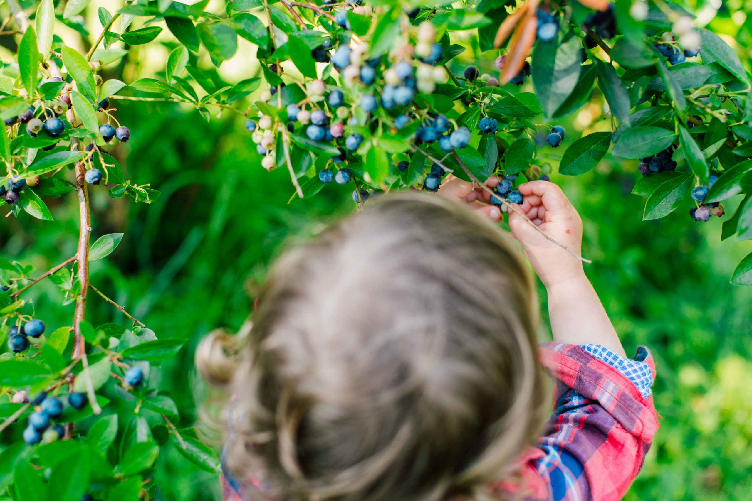 Child picking ripe blueberries at Goat Boat Farm in Everson, WA